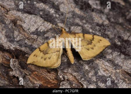 Bloccate la paglia Tarma (Eulithis pyraliata) adulto a riposo sul tronco di albero, Monmouth, Galles, Giugno Immagini Stock