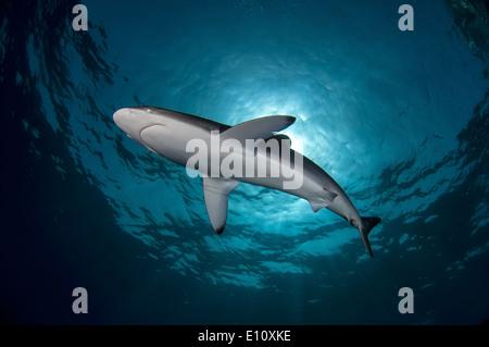 Silky Shark, Sudan (Carcharhinus falciformis) Immagini Stock