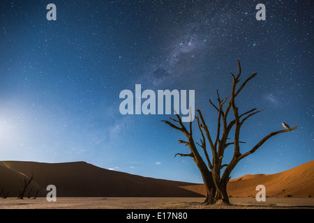 La Via Lattea su Dead Vlei, e un Barbagianni (Tyto alba) appollaiato sulla struttura ad albero.Soussvlei,Namibia Immagini Stock