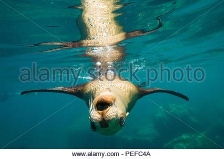 Un leone di mare nuoto off Isla Los Islotes. Immagini Stock