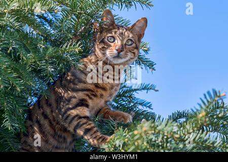Toyger Breedcat (Felis silvestris catus), femmina, 8 mesi, marrone sgombro, siede attentamente in yew, Austria Immagini Stock