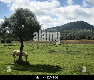 Un cavallo bianco sfiora sotto un albero di fronte all'antica città romana di Iptuci in Prado del Rey, Sierra de Grazalema, Spagna Immagini Stock