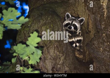 Due procioni (Procione lotor), fulvo con animale giovane, guardando fuori di una quercia grotta, Hesse, Germania Immagini Stock