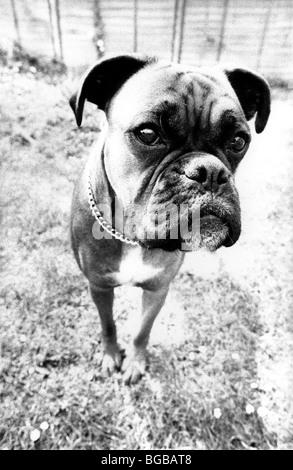 Fotografia di close-up di cane Boxer bianco e nero divertente cane da guardia Immagini Stock