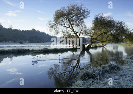 Un gelido inverno scena con cigni scivolare sull'Acqua al fiume Wey navigazioni, Surrey. Immagini Stock