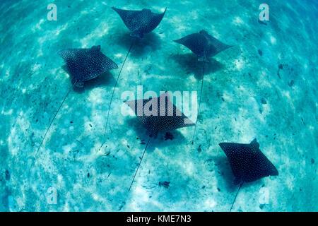 Una scuola di aquile di mare scivola attraverso il fondo dell'oceano. Immagini Stock