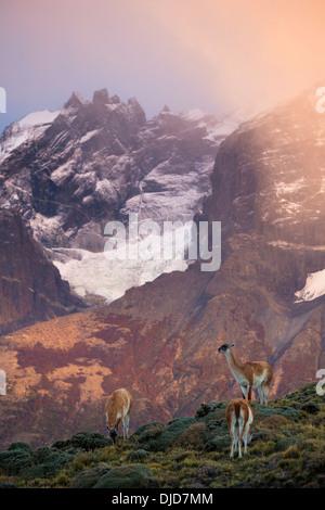 Piccolo gruppo di guanaco(Lama guanicoe) il pascolo con Torres del Paine montagne sullo sfondo.Patagonia.Cile Immagini Stock