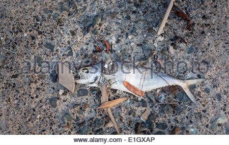 Close-up di un pesce morto giacente nella sporcizia Immagini Stock