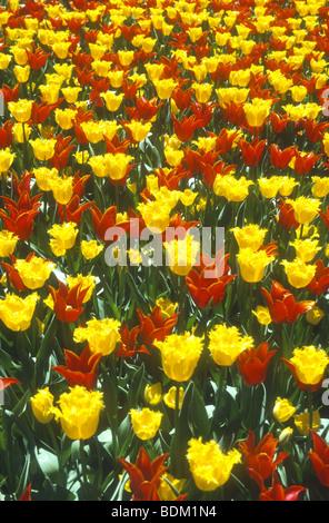 La coloratissima primavera esposizione di tulipani a Longwood Gardens ,Filadelfia negli Stati Uniti è sempre Immagini Stock