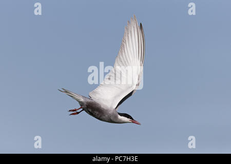 Mignattino piombato (Chlidonias hybrida) estate piumaggio adulto, volare, il Delta del Danubio, Romania, Giugno Immagini Stock