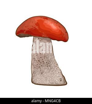 Commestibile di funghi selvatici con cappuccio rosso su sfondo bianco. Illustrazione Vettoriale. Immagini Stock