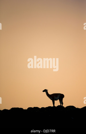 Guanaco(Lama guanicoe) silhouette permanente sulla collina.Patagonia.Cile Immagini Stock