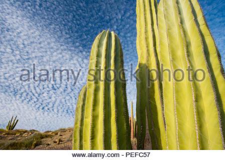Close up di cactus contro una nuvola costellato il cielo blu. Immagini Stock
