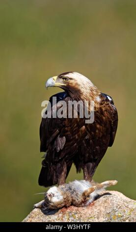 Spanish imperial eagle (Aquila adalberti) con la lepre catturata su una roccia, Castilla y Leon, Spagna Immagini Stock