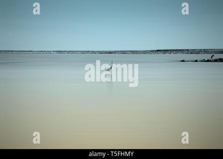 Un Airone sorge in acqua liscia a Salton Sea in California. Immagini Stock