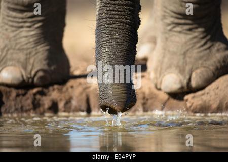 Elefante africano (Loxodonta africana).Close-up di piedini di elefante e tronco di bere a waterhole in Riserva di Mashatu.Botswana Immagini Stock