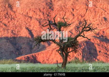 Acacia. NamibRand Riserva Naturale.Namibia Immagini Stock