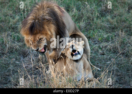 I Lions coniugata, Tanzania (Panthera leo) Immagini Stock