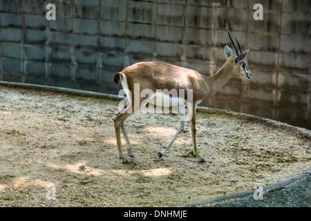 Gazelle in uno zoo, allo Zoo di Barcellona, Barcellona, in Catalogna, Spagna Immagini Stock