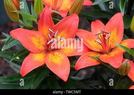 Il Lilium 'gioia festosa'. Nana Giglio asiatico fiori vicino. Regno Unito Immagini Stock