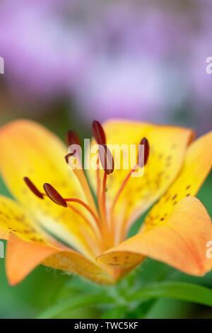 Il Lilium dauricum. Siberian orange fiore di giglio stame vicino. Regno Unito Immagini Stock