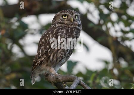 Civetta (Athene noctua), seduti in un albero, Emsland, Bassa Sassonia, Germania Immagini Stock
