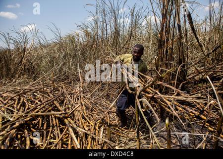 La canna da zucchero operai agricoli la raccolta della canna da zucchero su una piantagione in Malawi, Africa Immagini Stock