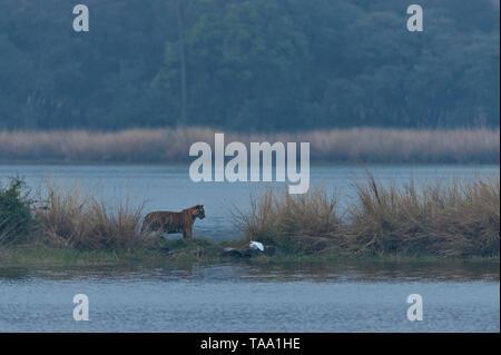 Tigre del Bengala in Ranthambhore national park, Rajasthan, India, Asia Immagini Stock
