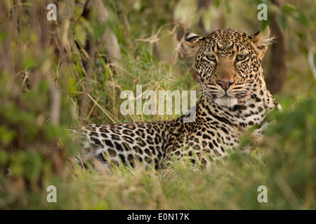 Leopard in appoggio, Superiore Mara, Masa Mara Game Reserve, Kenya, Africa (Panthera pardus) Immagini Stock