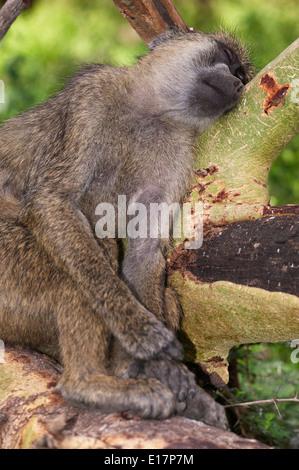 Chacma baboon (Papio ursinus) dorme.Amboseli National Park. Kenya Immagini Stock