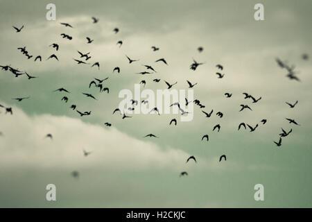 Stormo di uccelli che vola nel cielo. Messa a fuoco selettiva. Dark, misteriosa e moody impostazione. Immagini Stock