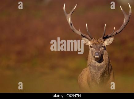 RED DEER Cervus elaphus un adulto stag catturato nell'autunnale (caduta) colori dell'ottobre rut Leicestershire, Immagini Stock