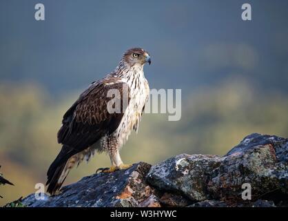 L'aquila del Bonelli (Aquila fasciata) cercando di Rocks, Estremadura, Spagna Immagini Stock