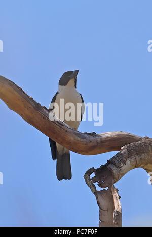 Van Dam la vanga (Xenopirostris damii) maschio adulto appollaiato sul ramo, endemica malgascia, specie in via di estinzione di Ampijoroa stazione forestale, Ankarafantsika R Immagini Stock