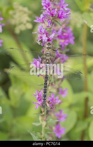 Hawker migranti (Aeshna mixta) maschio adulto, poggiante su Purple Loosestrife (Lythrum salicaria), West Yorkshire, Inghilterra, Agosto Immagini Stock