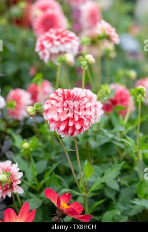 Dahlia 'Musette' su un fiore visualizza ad RHS Chatsworth flower show 2019. Chatsworth, Derbyshire, Regno Unito. Immagini Stock