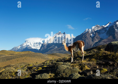 Guanaco(Lama guanicoe) permanente sulla collina con Torres del Paine montagne sullo sfondo.Patagonia.Cile Immagini Stock