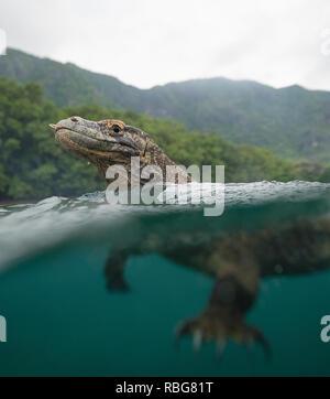 Il nuoto. Il folle momento un audace fotografo armato con un bastone cucinare off una selvaggia drago di Komodo da fermo la sua barca è stato catturato in video. Le riprese mozzafiato e ancora riprese mostrano le teste enormi e di linguette a forcella dei draghi, che possono pesare fino a 200 libbre, appena al di sopra della superficie dell'acqua mentre nuotano. Altro suggestivo scatta mostra ciò che si trova al di sotto di come il pericoloso Predator's potenti gambe spingerlo attraverso l'acqua nel perseguimento di un pasto. Notevoli le fotografie sono state prese al largo della costa della isola di Rinca, Parco Nazionale di Komodo, Indonesia da una barca a remi dal fotografo Andy Immagini Stock