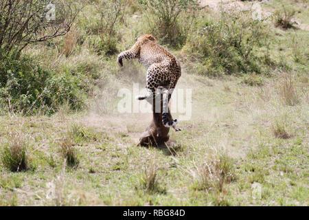 Un terrorizzato warthog la lotta disperata di sfuggire dalle grinfie di un affamato di gravidanza leopard è stato catturato in una serie di fantastici scatti. Immagini incredibili mostra il 130-pound leopard stalking la sua preda in un boschetto di boccole prima dell'warthog diventa consapevole del fatto che è in procinto di diventare la cena e compie una corsa per l'IT. Purtroppo per il warthog la sua velocità non è adatto per quella del predatore che rapidamente le catture fino e pounces prima di gustare un pasto meritato. Il suggestivo incontro fu catturato a Masai Mara, Kenya, da camp manager Peter Thompson (29) da Townsville, Australia. Pete Immagini Stock