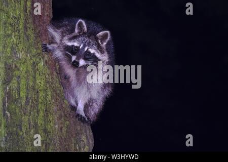 Raccoon (Procione lotor), fulvo, si arrampica sul tronco di albero, Hesse, Germania Immagini Stock