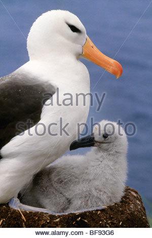 Nero-browed albatross e pulcino, Thalassarche melanophrys, Isole Falkland Immagini Stock