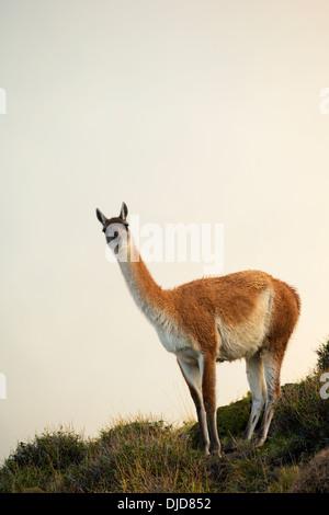 Guanaco(Lama guanicoe) in piedi sulla collina tra la nebbia.Patagonia.Cile Immagini Stock