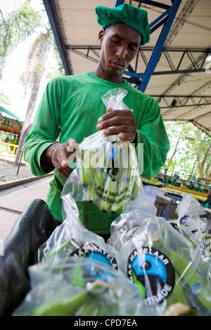 Lavoratori di un Fairtrade piantagione di banane lavare e pacchetto grappoli di banana Immagini Stock