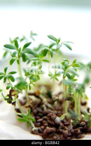 Fotografia di germogli verdi semi di recupero la crescita nuova crescente REGNO UNITO Immagini Stock