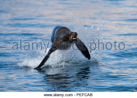 Un leone di mare jumping. Immagini Stock
