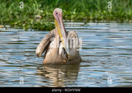 Great White pelican (Pelecanus onocrotalus) juvenil, Lake Naivasha, il Parco Nazionale del Kenya Immagini Stock
