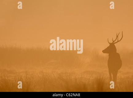 RED DEER Cervus elaphus un giovane maschio stagliano in alba mist Leicestershire, Regno Unito Immagini Stock