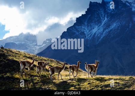 Piccolo gruppo di guanaco(Lama guanicoe) permanente sulla collina con Torres del Paine montagne sullo sfondo.Patagonia.Cile Immagini Stock