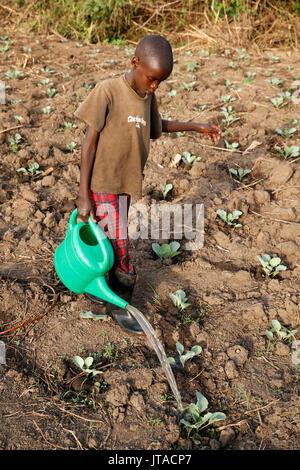 Il contadino figlio di abbeveraggio una piantagione di vegetali, Uganda, Africa Immagini Stock