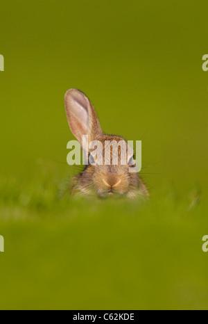 Coniglio oryctolagus cuniculus un curioso coniglio giovane appena solleva un orecchio per ascoltare per il pericolo Immagini Stock